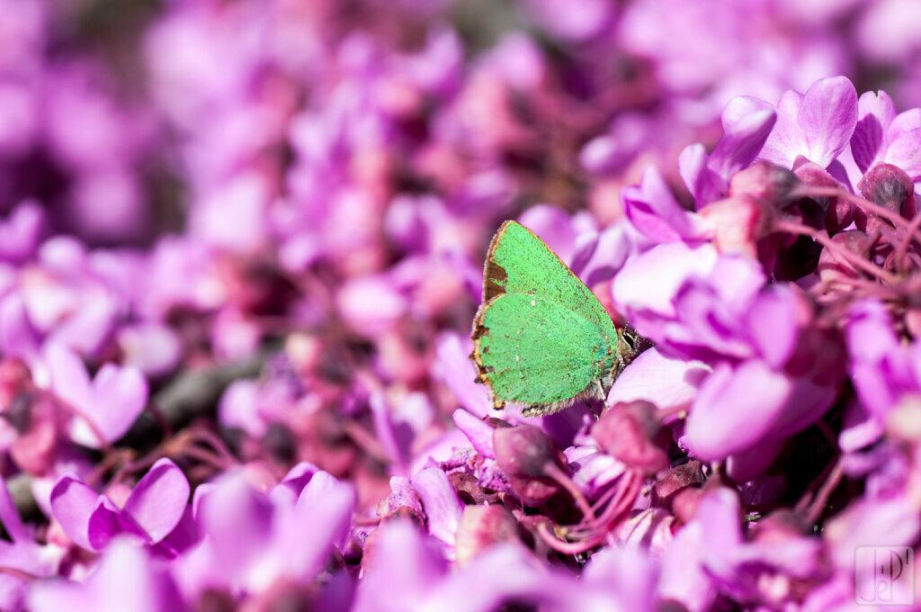 Papillon vert sur fleurs roses