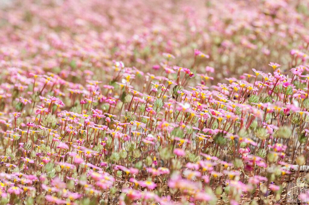Champ de petites fleurs roses et jaunes