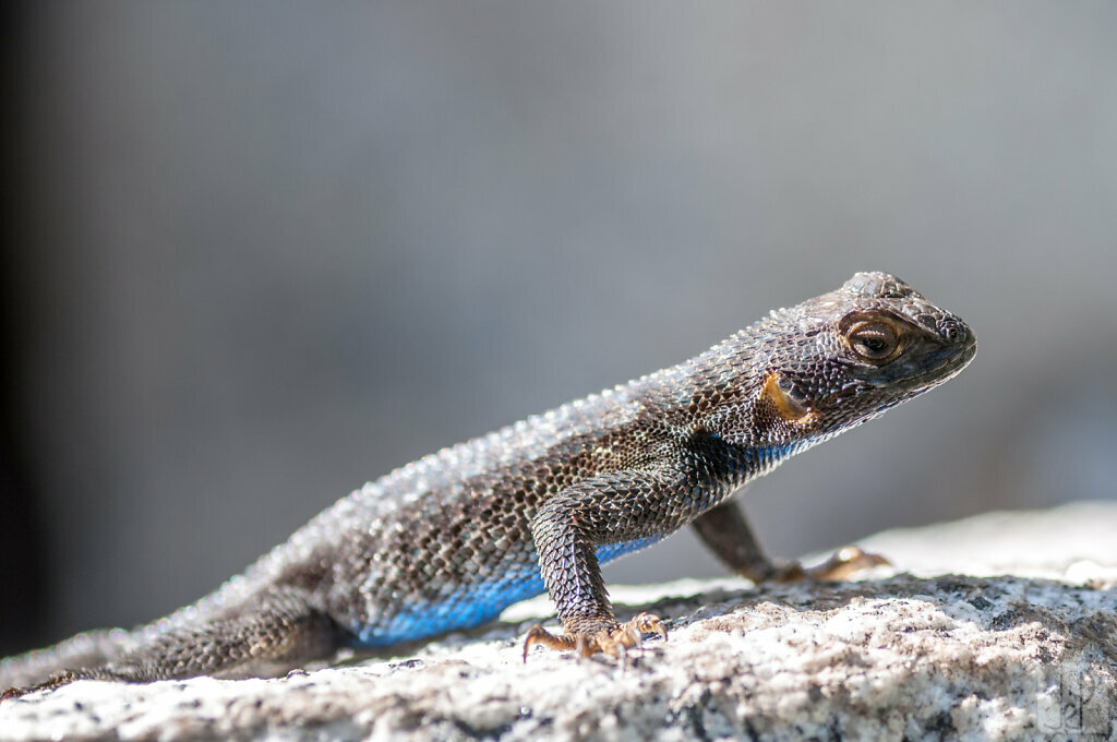 Blue bellied lizard